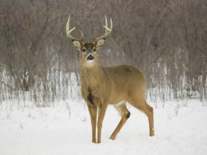 White-Tail-Deer-1