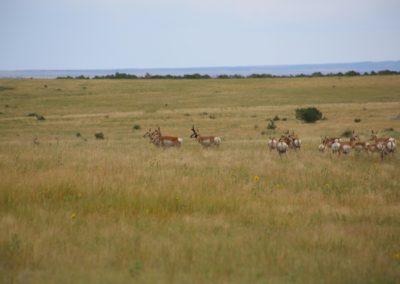 Meadowbrook Antelope 1