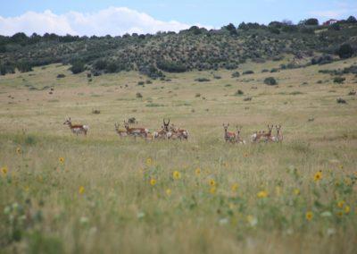 Meadowbrook Antelope 2