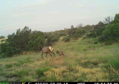 Meadowbrook Elk 1
