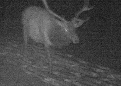 Meadowbrook Elk 4